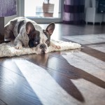 french bulldog lying on floor